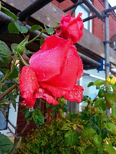 Rainy Days☔ Roses Are Red Summer ☀ Rose Collection Wetflower Garden Plants Scaffolding And Rain Rose Bud With Raindrops Rosé
