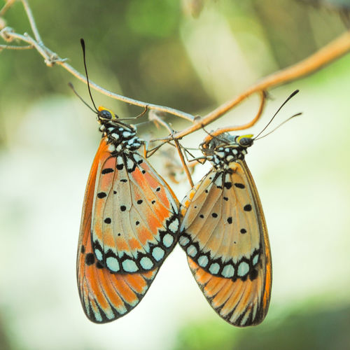 all about loves Bestoftheday Best EyeEm Shot Macro Macro Photography Nature Insects  Macro_collection Nature Photography Nature_collection Insects Beautiful Nature Butterfly - Insect Perching Insect Animal Wing Close-up Animal Themes Animals Mating Animal Antenna Mating Butterfly