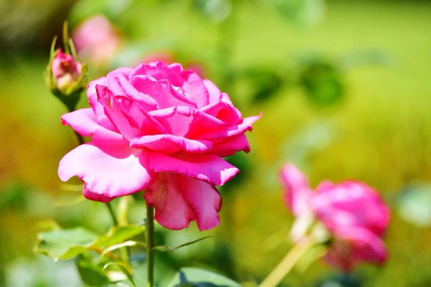 Flowers Flower Flowers,Plants & Garden Roses Pink Rose