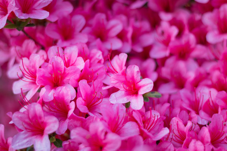 Close-up of a carpet of pink Rhododendron indicum (azalea) flowers in full bloom Flowering Plant Flower Beauty In Nature Pink Color Freshness Vulnerability  Fragility Petal Plant Close-up Full Frame Inflorescence Flower Head Backgrounds Nature Growth No People Day Botany Outdoors Springtime Bunch Of Flowers Lilac Rhododendron Azalea