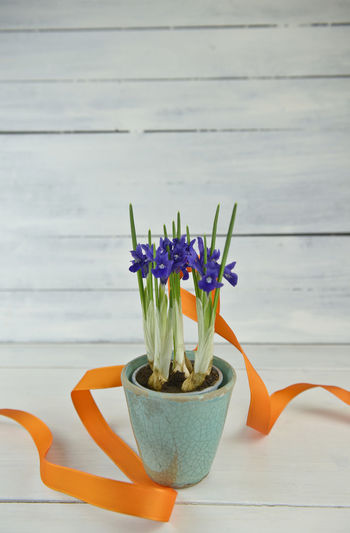 Flowering Plant Flower Plant Freshness Nature Potted Plant Table Beauty In Nature No People Wood - Material Decoration Growth Indoors  Close-up Flower Head Flower Pot Purple Flower Arrangement Day Petal Spring Easter Ribbon Iris Iris Reticulata