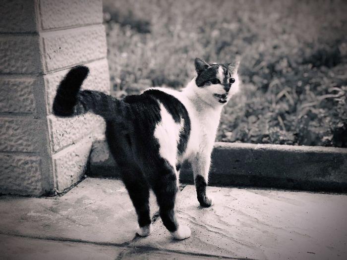 Nasıl da çemkiriyor bana 😂 Mammal One Animal Domestic Animals Vertebrate Pets Domestic Cat Feline Domestic Cat Footpath Focus On Foreground Standing Nature Whisker No People Day Full Length City 17.62° My Best Photo
