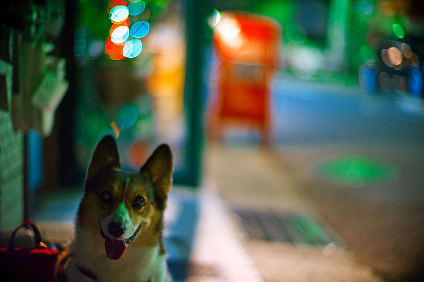Dog Corgi Pochiko Nightphotography Night Lights Bokeh LeicaM7 Noctilux