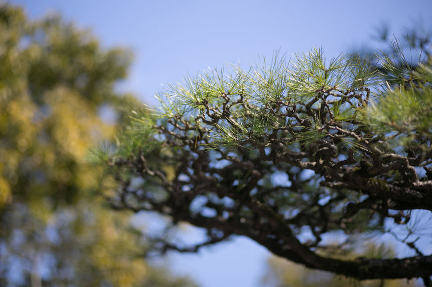 Japan KYUSHU Nature Beauty In Nature Branch Clear Sky Close-up Day Freshness Growth Low Angle View Nature No People Outdoors Pine Tree Plant Sky Tree
