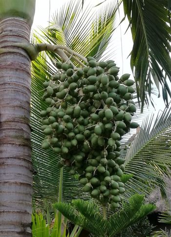 Palm Tree Bunch Of Fruits Low Angle View Beauty In Nature