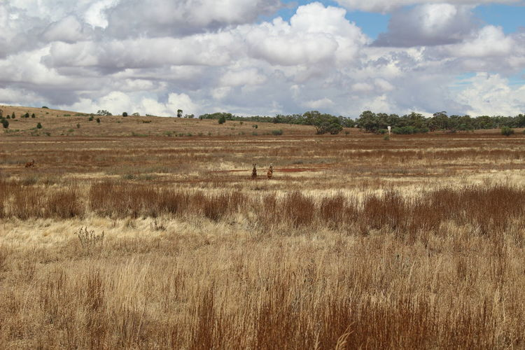 Scenic view of agricultural field with kangaroos