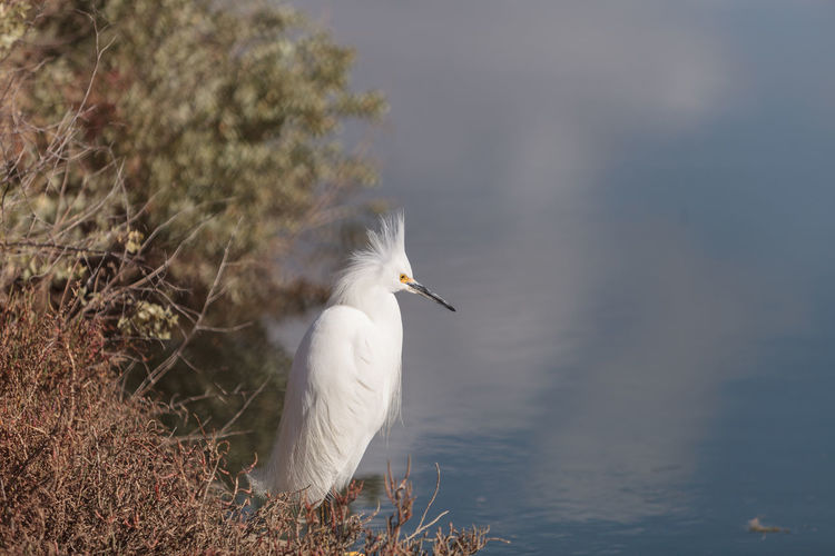 Snowy Egret, Egretta thula, bird forages in a marsh in Huntington Beach, Southern California, United States Animal Themes Animal Wildlife Animals In The Wild Bird Birds Day Egret Egretta Thula Marsh Nature No People One Animal Outdoors Snowy Egret Wildbird