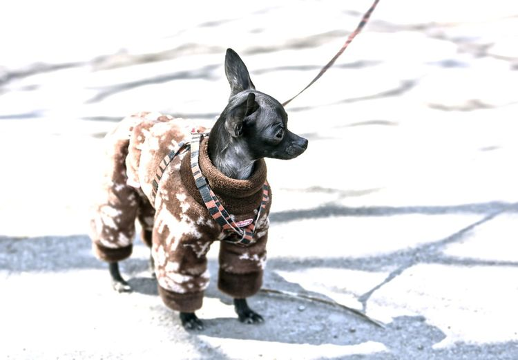 A small dog A Small Dog Toy Terrier Dog Clothing