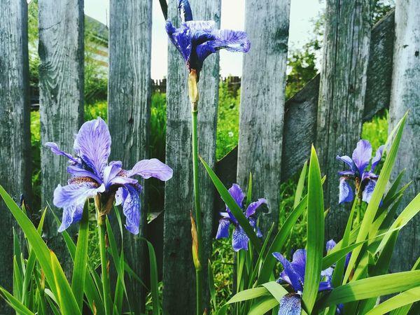 Country Life кантристайл Countryside прованс Wood Provence Hygge Country Decoration Garden Garden Photography сад Magic Moments Magic Garden Flower Head Flower Iris - Plant Crocus Purple Close-up Blooming Iris Purple Color Vision