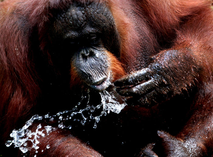 Close-up of orangutan drinking