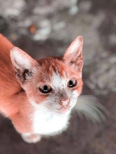 ginger Meow