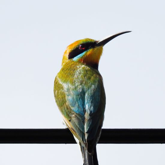 Rainbow Bee Eater Bird One Animal Animal Themes Animals In The Wild Perching Animal Wildlife Beak No People White Background Kingfisher Nature Beauty In Nature Close-up Clear Sky Day Outdoors Cairns Australia The Week On EyeEm