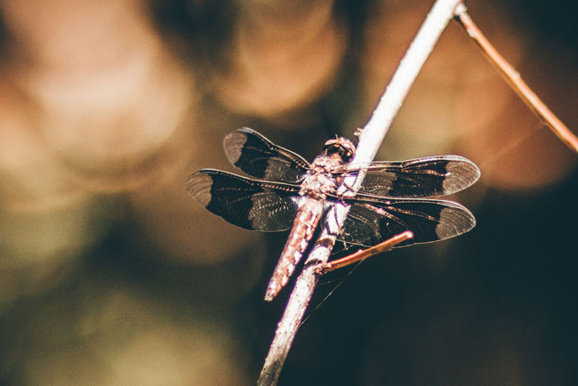 Animal Themes Animals In The Wild Close-up Day Dragonflies Dragonfly Dragonfly_of_the_day Focus On Foreground Insect Libelle Libellen Libellenhochzeit National Park Nature Nature Insects No People One Animal Orange Tone Outdoors