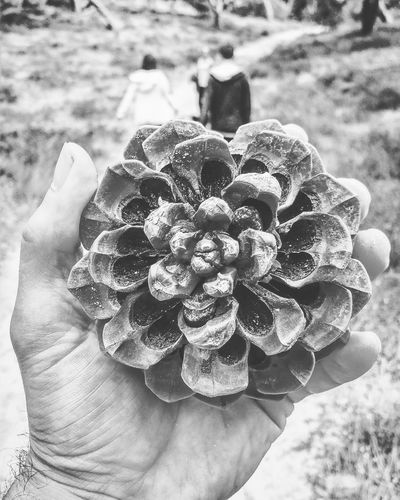 Holding Human Body Part One Person Day Human Hand Nature Adult Flower People Outdoors Close-up Adults Only Freshness Flower Head Pine Fibbonacci Ratio Sacredgeometry Sacred Geometry