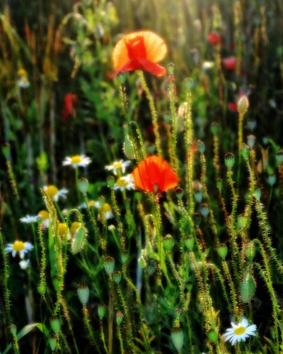Auf der Wiese Flower Growth Plant Nature Poppy Green Color Beauty In Nature No People Outdoors Fragility Freshness Day Close-up Flower Head Grass Meadow Flowers Field Rural Scene Beauty In Nature Summer Grass Red Flowers Poppies In Bloom Poppy Flowers Poppy Season