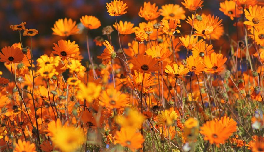 Namaqualand Namaqualand Daisies South Africa Beauty In Nature Black-eyed Susan Blooming Close-up Cosmos Flower Day Field Flora Flower Flower Head Fragility Freshness Growth Nature No People Orange Color Outdoors Petal Plant Yellow