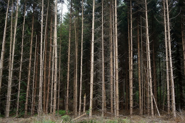 Beauty In Nature Day Forest Forest Fire Growth Kiefer Kiefernwald Nature No People Outdoors Pinaceae Pine Tree Tree Tree Trunk Wirtschaftswald WoodLand Working Forest