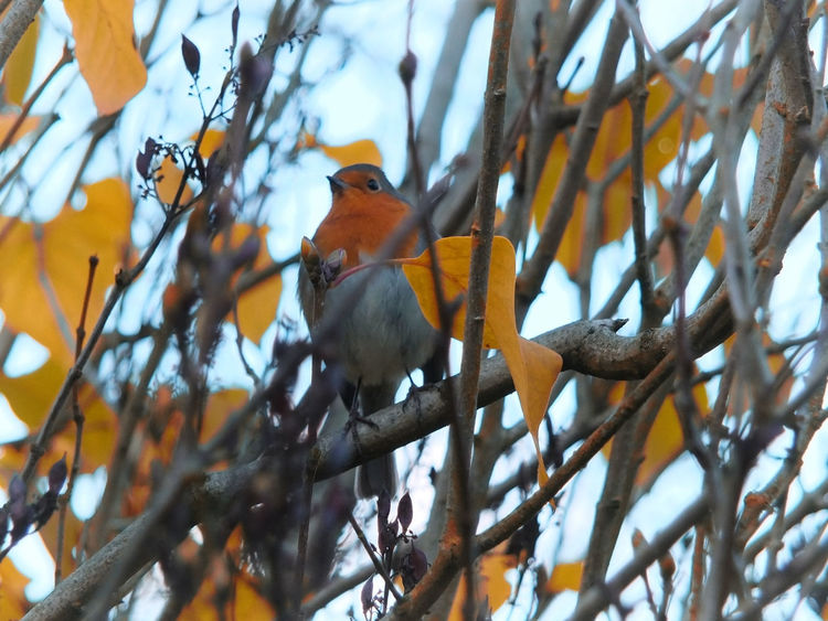 a european robin perched in a tree with bright autumn leaves and a blurred background Robin Outdoors European Robin Perching Autumn Animal Wildlife Branch Tree Animals In The Wild Bird Beauty In Nature Selective Focus Day Focus On Foreground One Animal