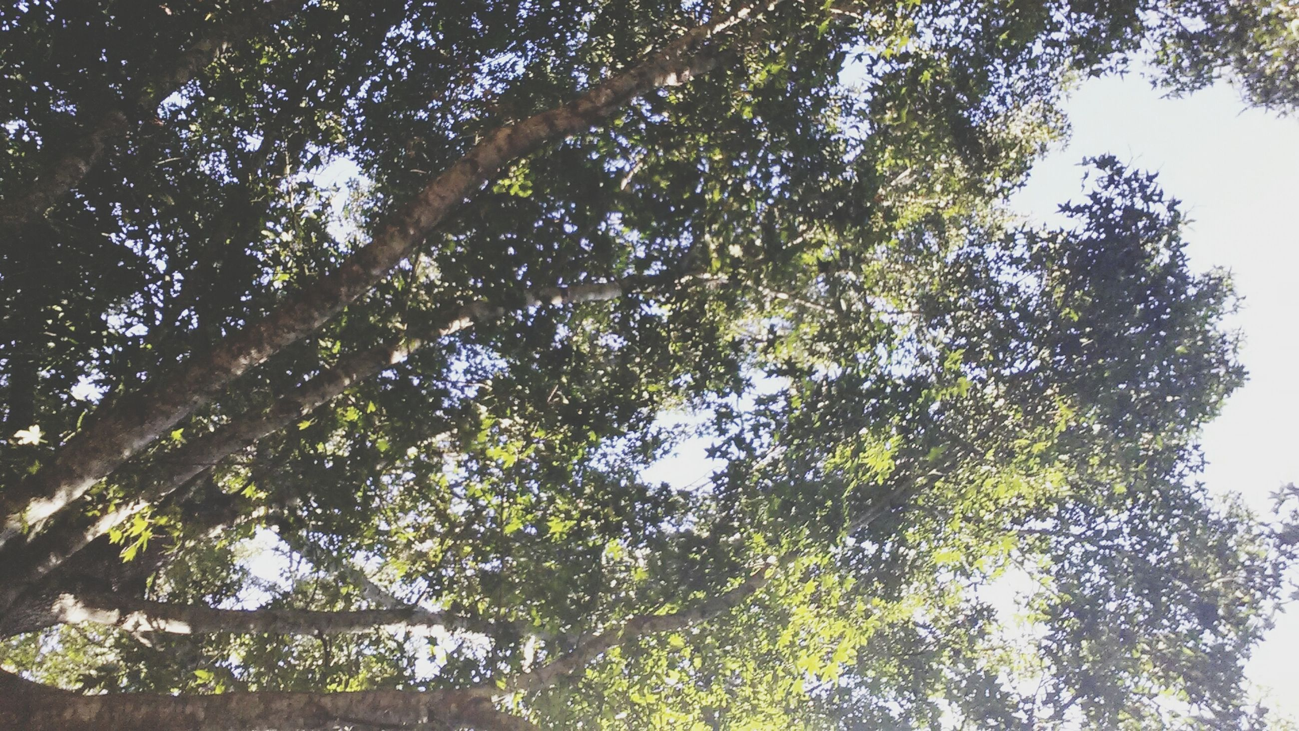tree, low angle view, growth, branch, nature, green color, tranquility, beauty in nature, sky, tree trunk, day, forest, outdoors, no people, clear sky, sunlight, lush foliage, backgrounds, scenics, leaf