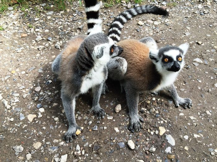 Katta / Lemur Katta Lemur Lemurs Cute Animals Blackandwhite Zoo