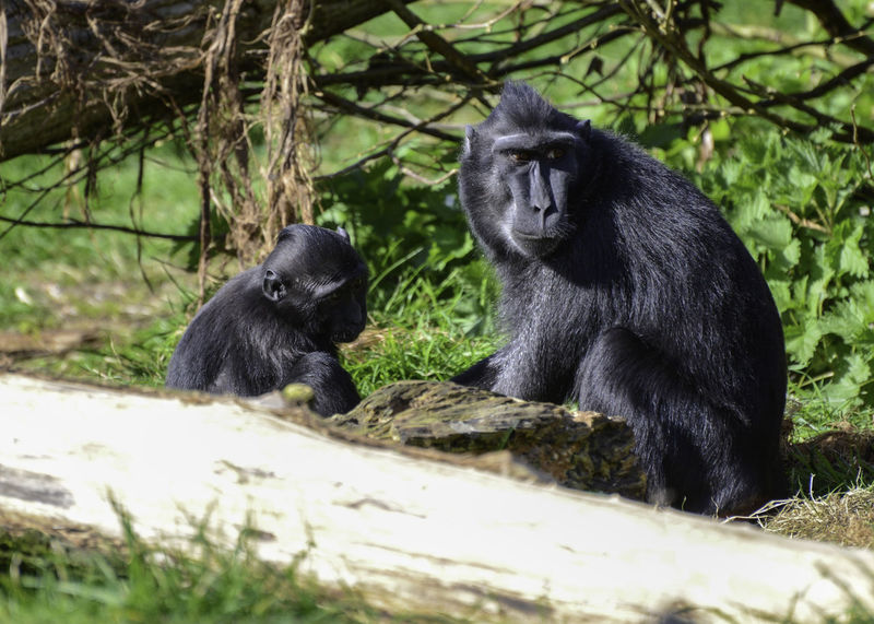 Macaque and her young, taken at Marwell Zoo uk Animal Themes Animal Wildlife Animals In The Wild Ape Black Color Chimpanzee Close-up Day Gorilla Macaque Macaque Monkey Macaque Mother Mammal Monkey Nature No People Outdoors Primate Sitting Two Animals