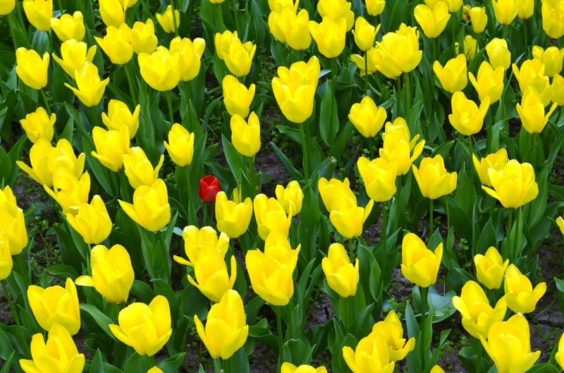 Full frame of yellow flowers blooming in field