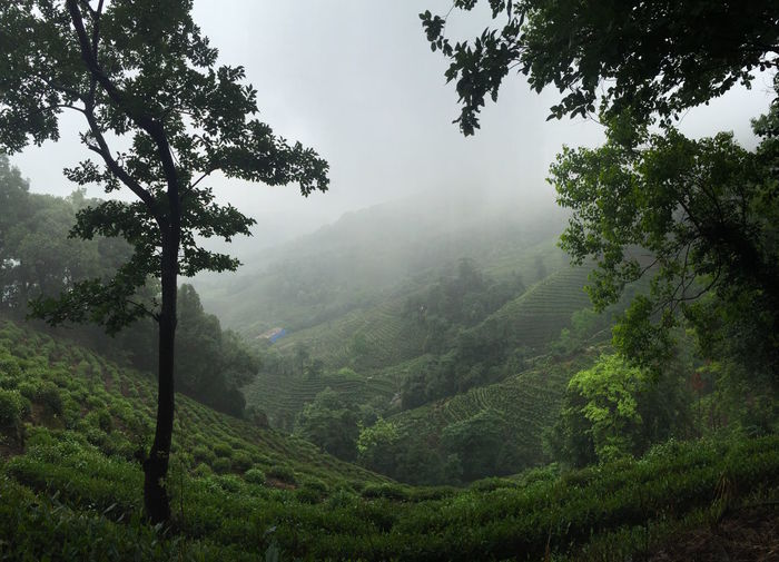Tea everywhere near Hangzhou | 2016 Agriculture Beauty In Nature Cloud - Sky Day Detox Fog Forest Green Color Growth Hangzhou Landscape Lush - Description Lush Foliage Mountain Nature No People Outdoors Rural Scene Scenics Sky Tea Tea Village Tranquil Scene Tranquility Tree