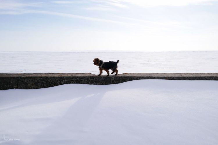 At the horizon Canada Contrast White Horizontal Lines Minimalism Yorkshire Terrier Yorkie Frozen Lake Horizontal Symmetry One Animal Animal Themes Domestic Animals Dog Nature Pets Outdoors Cold Temperature Snow Sky Winter No People Shades Of Winter