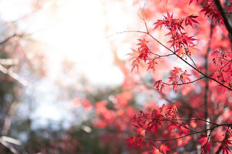 Art Autumn Backdrop Background Beautiful Blur Botany Branch Bright Canada Close-up Color Colorful Day Decoration Design Eco Ecology Environment Fall Floral Foliage Forest Fresh Freshness Garden Greenery Growth Japan Landscape Leaf Leaves Light Lush Maple Natural Outdoor Park Plant Red Season  Spring Summer Sun Sunlight Sunshine Texture Tree Vibrant Wallpaper