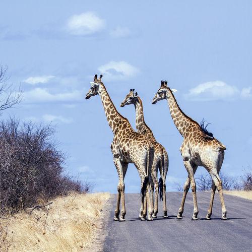 Giraffes walking on road