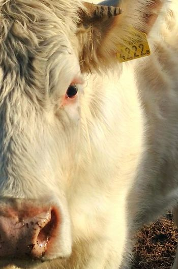 Cow Close Up Cow Close Cow