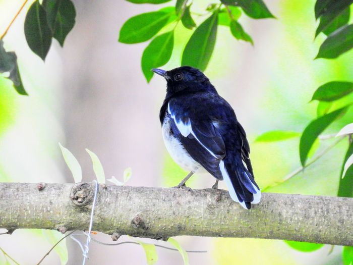 Animal Themes Bird Black Color Branch Day Leaf Nature No People One Animal Outdoors Perching Tree