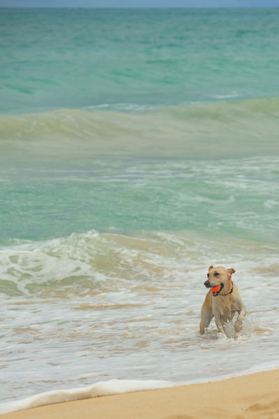 Dogs on a tropical beach Animals Beach Beauty In Nature Copy Space Day Dogs Hawaii Holiday Horizon Over Water Kailua Beach Nature No One No People Oahu Outdoors Pet Playing Sand Sea Summer Tropical USA Vacations Water