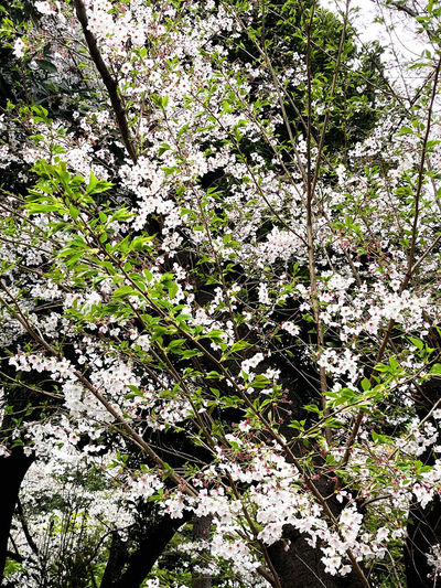 Close-up of white flowering tree