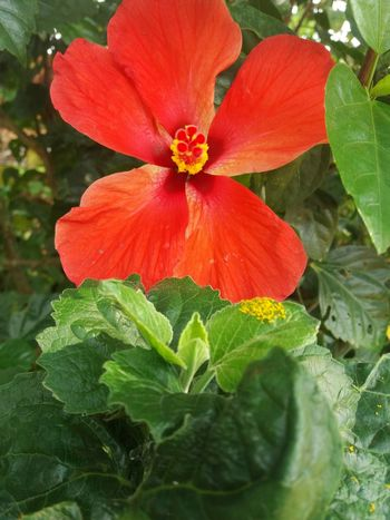 No Edit/no Filter Leaf Hibiscus Close-up Sunrise No Flash Photograhpy Flower Red Petal Flower Head Nature Fragility Plant Growth Close-up Freshness Beauty In Nature Green Color Blooming Outdoors No People Day