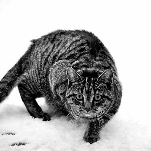 EyeEmNewHere Catlovers Cat Katze Cat Lovers Pets Catsofinstagram Katzenliebe Feline Cats Of EyeEm Domestic Animals Winter Jagd