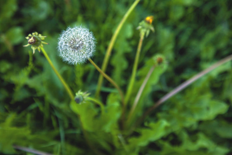 Plant Flower Flowering Plant Freshness Fragility Growth Vulnerability  Beauty In Nature Close-up Dandelion Green Color Nature No People Plant Stem Inflorescence Flower Head Selective Focus Outdoors Focus On Foreground Field Softness Dandelion Seed