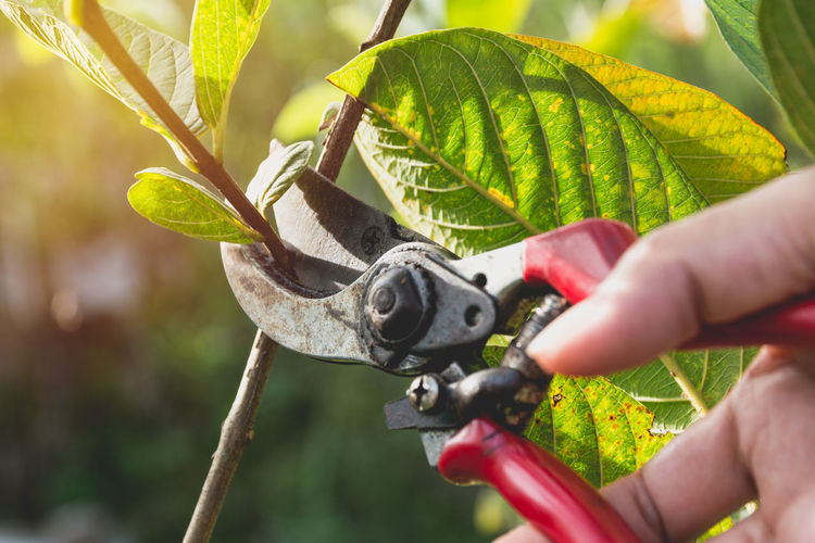 Close-up of person cutting plants with pruning shears