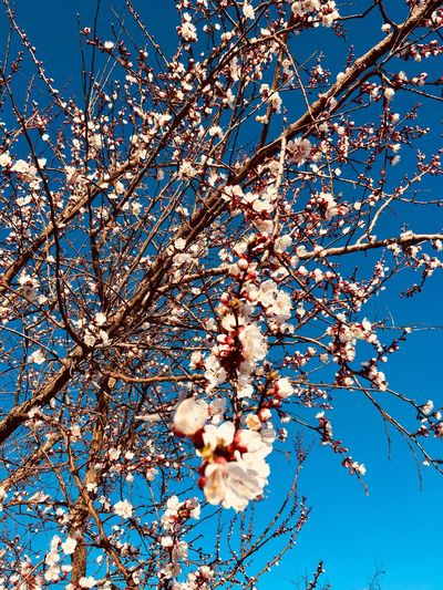 Plant Low Angle View Beauty In Nature Branch Growth Sky Flower Flowering Plant No People Freshness Nature Blue Vulnerability  Clear Sky Blossom Tree Fragility Day Springtime Outdoors