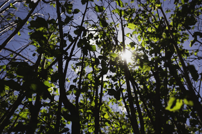 Beauty In Nature Branch Day Flowering Plant Green Color Growth Hazelnut Leaf Lens Flare Low Angle View Nature No People Outdoors Plant Plant Part Sky Spring Streaming Sun Sunbeam Sunlight Sunny Tranquility Tree
