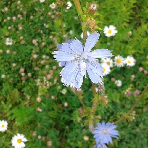 цикорий полевые цветы