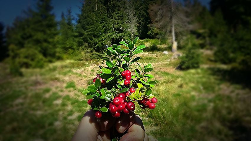 A handful of redberries Redberries Outdoors Nature Plant Close-up Red Green Nature EyeEmNewHere