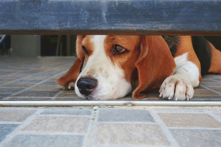 Close up young adorable beagle dog waiting it's owner and lying down on tiles floor under steel gate door in lonely gesture at home, pet portrait concept Waiting Space Metal Fence Gate Door Tiles Floor Lonely Alone Watchdog Lying Down Sad Eyes Adorable Young Film Tone At Home Mammal Beagle Pets Portrait Dog Close-up Under Canine Snout Purebred Dog Animal Face