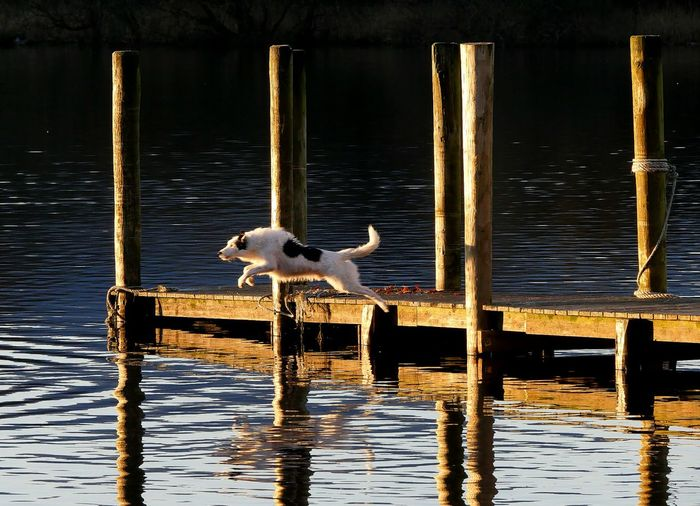 The Jump...... Outdoor Photography Outdoors Lake Dog Pets Leaping Jetty Reflections Airborne Sunshine Evening Light Candid Swimming Wooden Posts