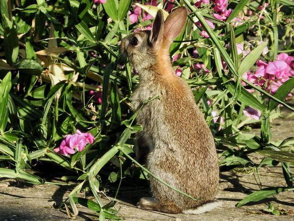 I think I have a rabbit problem. I saw three tonight munching my plants! Rabbit Rabbits Wildlife Plants Garden Animals Nature Countryside Wild Rabbits