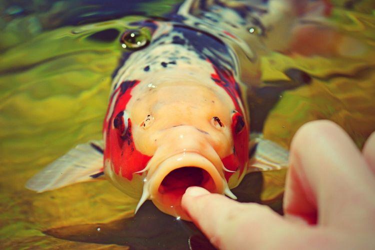 Koi Koi Koi Fish Fish Koi Carp