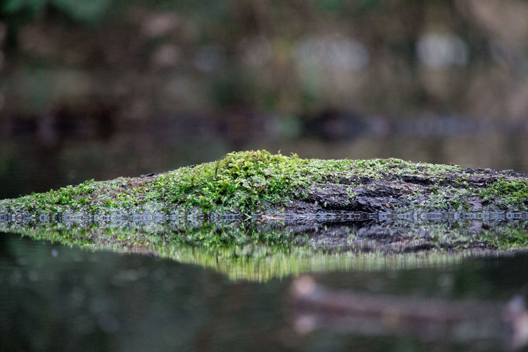 Moss Covered Fallen Tree In Lake