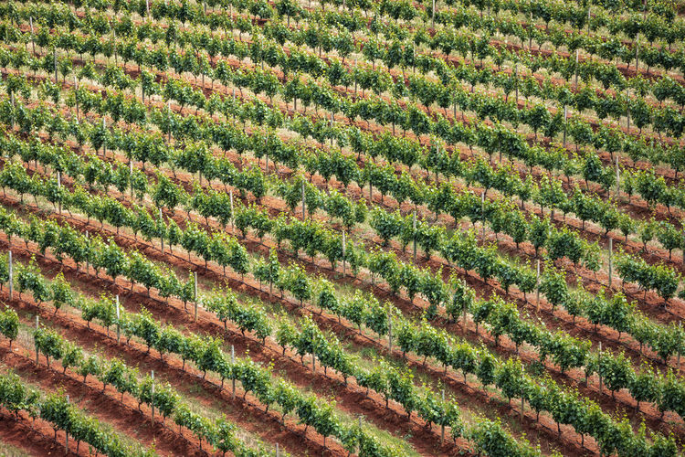 Vineyards in stellenbosch, the town near cape town famous for the production of wine