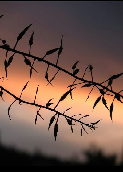 Silhouette of branch against sky at sunset