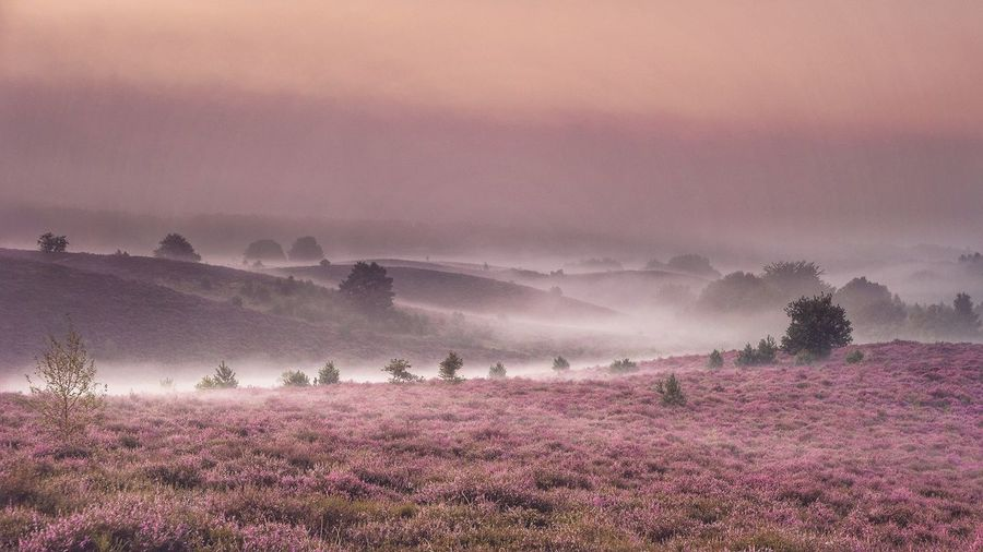 Purple flowering plants on field against sky, blooming heather heid fields in the netherlands